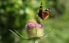 Red Admiral (On Teasel) 100817 (3) (Richard Collier - Wildlife and Travel Photography) Tags: wildlife naturalhistory insects butterflies british redadmiral teaseldipsacuspilosus macro closeup dorsetwildlife