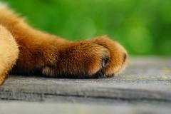 The paw (DizzieMizzieLizzie - Off for a while) Tags: abyssinian aby beautiful wonderful lizzie dizziemizzielizzie portrait cat chats feline gato gatto katt katze katzen kot meow mirrorless pisica sony a6500 animal pet 2017 sigma