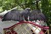 2017-08-06 14-42-23 _K1_4164ak (ossy59) Tags: k1 pentax oberursel oberurselerfeyerey dfa hdpentaxdfa28105mmf3556eddcwr 28105 blaubussard blauadler blackchestedbuzzarseagle adler eagle aguila aguja aguilaescudada geranoaetusmelanoleucus kordillerenadler