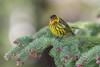 Cape May Warbler (Joe Branco) Tags: songbirds lightroomcc2015 photoshopcc2017 wildlifephotography joebrancophotography capemaywarbler branco joe birds wildlife green cape may warbler