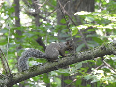 ecureuil gris (cdavid laurier) Tags: squirrel rodent wild wildlife mammal nature trees forest canada
