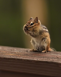When Chipmunks Facepalm