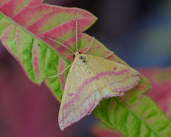 Moth on the Sumac (imageClear) Tags: moth beauty nature fauna tigereyessumac perched closeup summer lovely colorful aperture nikon d500 105mm imageclear flickr photostream