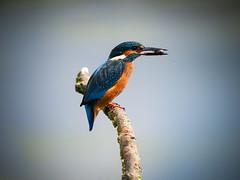 _8310958 (Paul.Pics.) Tags: bird king kingfisher male blue orange dinner fish stick pretty feathers leicestershire olympus omdem1mkii panasonic100400 pond nature wildlife