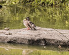 """Duck Perched On Rock Formation In Turtle Pond Central Park (nrhodesphotos(the_eye_of_the_moment)) Tags: dsc17883001024 """"theeyeofthemoment21gmailcom"""" """"wwwflickrcomphotostheeyeofthemoment"""" summer2107 season centralpark turtlepond outdoors nature bokeh waterfront shadows reflections plantlife flowers botanical manhattan nyc turtles bird birdlife redearedsliders rockformation duck beak perched"""