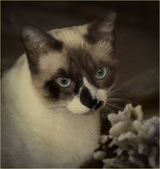Bella through the window (marneejill) Tags: siamese x blue eyes cat coral window bella