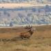 Bolving on Big Moor (little mester.) Tags: bigmoor reddeer reddeerrut2017 derbyshire derbyshirepeakdistrict antlers bolving easternmoors easternmoorspartnership rspb thenationaltrust