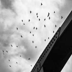 Flock (tim.perdue) Tags: flock birds pigeon animal flight bridge sky clouds black white bw monochrome arena district crossing columbus ohio downtown urban city nature
