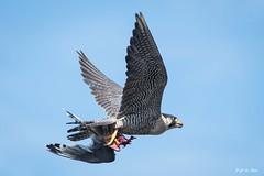 _DSC5338 (P2 New) Tags: 2016 animaux costarica date décembre falconidae falconiformes fauconpelerin oiseaux pays riotarcoles provinciadepuntarenas