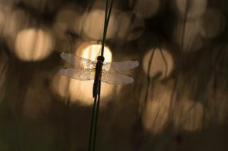 ailes à rosée