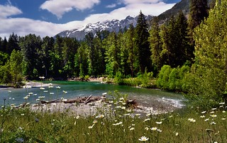 A River Flows Through a Forest and Mountains...and by Some Daisies (Lake Chelan National Recreation Area)