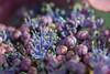 Violet world (Janne Fairy) Tags: violet violett lila flower garden garten blume hortensie hydrangea canon canon500d eos500d eos bokeh nahaufnahme makro macro schärfentiefe