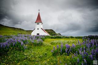 Reyniskirkja Church in lupins