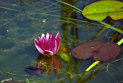 Water lily (Caulker) Tags: canonspark waterlily pond august 2017