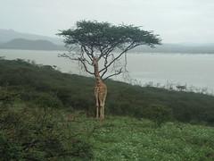 DSCF5330 (willhooper925) Tags: kenya lake baringo wild life