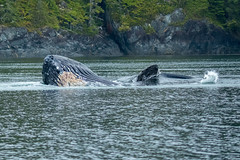 Mother and Daughter Humpback Whales Feeding (Blingsister-Melanie) Tags: canadianwildlife melanieleesonwildlifephotography feeding northamericanwildlife mammalsofnorthamerica mammals britishcolumbiawildlife blingsister humpbackwhales behaviours