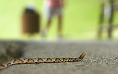 "Copperhead Road (5'20"") Tags: copperhead snake parks outdoors poisonous nc raleigh cary reptiles"