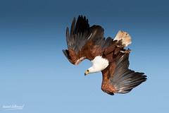 500_2656.jpg (Laurent LALLEMAND) Tags: haliaeetusvocifer accipitridae continentsetpays africanfisheagle afrique baringo oiseaux pygarguevocifère accipitriformes kenya africa ke ken