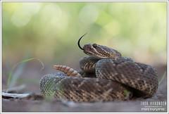 Crotalus scutulatus (Thor Hakonsen) Tags: crotalusscutulatus mojaverattlesnake rattlesnake mojave crotalus crotalidae crotalinae viper pitviper viperidae snake reptile
