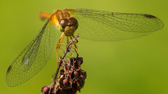 Damselfly-01142 (Paul McGoveran) Tags: damselfly dragonfly longpoint sigma180mm sonya99 macro portrowan ontario canada ca