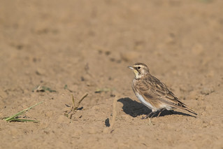 Horned Lark, Lebanon Sod Farm, Boone County, Indiana, 8-27-17