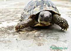 tartarughe (pryrkjyr60) Tags: turtle tartaruga tartarughediterra natura animali rettili