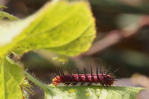 Tawny Coster caterpillar 0459