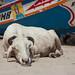 A Snoozing Sheep in Senegal