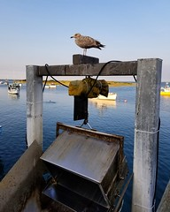 Cape Cod 2017 (j.alona) Tags: capecod chathamma chathampierfishmarket chathampier seagull seagulls birds wildlife wildlifephotography