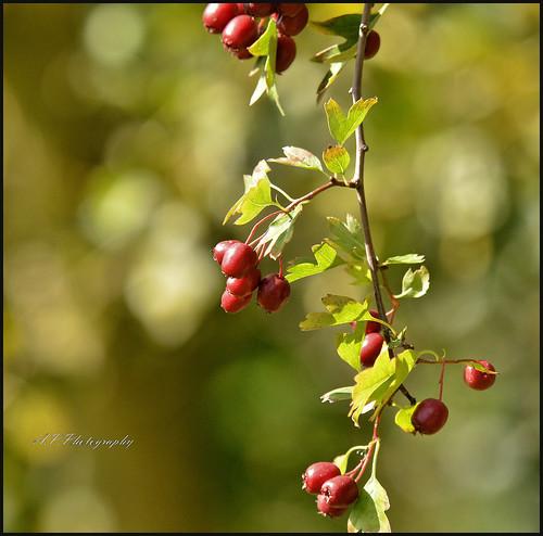 09.09.17 Berries..
