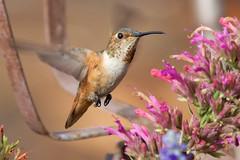 Allen's Hummingbird (Life of David) Tags: california camarillo canon5dmarkiv selasphorussasin usa wildlife allenshummingbird backyard beautiful beauty bird hummingbird nature world100f