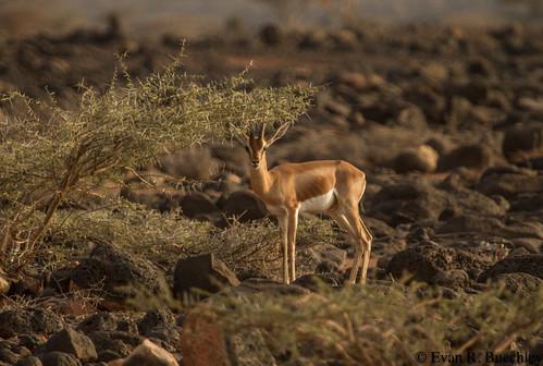 Dorca's Gazelle, Djibouti