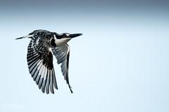500_2172.jpg (Laurent LALLEMAND) Tags: kenya coraciiformes continentsetpays afrique baringo oiseaux alcedinidae alcyonpie piedkingfisher martinpêcheurpie cerylerudis africa ke ken