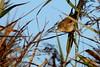 rousserolle effarvatte ( Acrocephalus scirpaceus ) Erdeven 170902d2 (papé alain) Tags: oiseaux passereaux acrocéphalidés rousserolleeffarvatte acrocephalusscirpaceus eurasianreedwarbler erdeven morbihan bretagne france