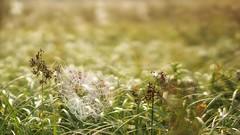 *** (pszcz9) Tags: przyroda nature natura zbliżenie closeup pajęczyna spiderweb web rosa dew kropla dewdrop waterdrop bokeh beautifulearth sony a77