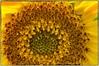 Sunflower (Steve4343) Tags: nikon d70 d70s orange sunflower brown yellow abigfave steve4343