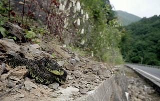 Jerdon's Pit-viper (Protobothrops jerdonii)