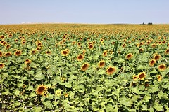 Western Nebraska Sunflowers (Shaun McCullough) Tags: sunflowers westernnebraska nebraska flowers field unitedstates summer landscape