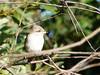 young red-backed shrike (Chris K. C.) Tags: redbacked shrike