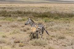Grant's Zebra (Equus quagga boehmi), mare & foal (Hoppy1951) Tags: serengetinationalpark shinyanga tanzania tza lakendutu allanhopkins grantszebra equusquaggaboehmi mareandfoal plainszebra commonzebra taxonomy:kingdom=animalia animalia taxonomy:phylum=chordata chordata taxonomy:subphylum=vertebrata vertebrata taxonomy:class=mammalia mammalia taxonomy:order=perissodactyla perissodactyla taxonomy:family=equidae equidae taxonomy:genus=equus equus taxonomy:species=quagga taxonomy:binomial=equusquagga taxonomy:trinomial=equusquaggaboehmi grant'szebra boehmszebra taxonomy:common=grant'szebra taxonomy:common=boehmszebra inaturalist:observation=7982806