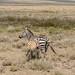 Grant's Zebra (Equus quagga boehmi), mare & foal