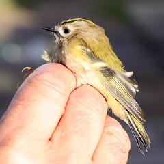 Goldcrest - Regulus regulus (Roger Wasley) Tags: goldcrest regulusregulus spurn bird observatory birds kinglet migrant uk britain british european