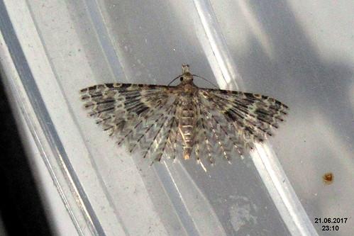 Twenty-plume moth (fp)