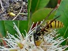 Omnivore. Common Wasp and Honeybee, Cunonia capensis, African Red Elder, Hortus Botanicus, Amsterdam, The Netherlands (Rana Pipiens) Tags: commonwasp honeybee omnivore joanchristiancuno caroluslinnaeus namaalsbeter haarlemthenetherlands joanchristiancunoodeüberseinegartennachmalsbesser1750