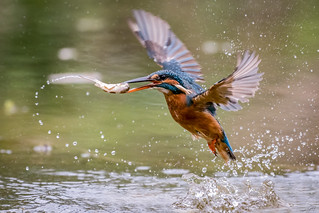 Common Kingfisher  -  Eisvogel