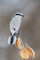 Shrike posing (Earl Reinink) Tags: nature naturephotography bird animal earl reinink earlreinink shrike northernshrike euodiaadoa