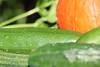 CKuchem-5695 (christine_kuchem) Tags: biogarten bioqualität ernte erntezeit garten gemüse gemüsegarten grün gurke hokaido kürbis nutzgarten pflanze sommer sorte sorten sortenvielfalt vielfalt zucchini bio biologisch frisch gesund lecker natürlich orange reif unbehandelt
