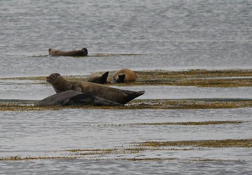 gray seals 3