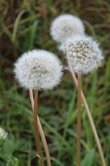 Pissenlit (Elisa BOYER) Tags: macro plante fleur pelouse white green dandelion pissenlit