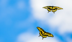 Gliding Giant Swallowtails (Bernie Kasper (2.5 m views)) Tags: art berniekasper butterfly d600 family hiking indiana indianawildflowers indianabutterflies jeffersoncounty light madisonindiana macro nature nikon naturephotography new giantswallowtail outdoors outdoor old outside blue photography clouds cloud raw sky summer travel trail bug bugs insect insects flying macromonday second evolution closeup macromondays animals digital yellow rural lens life
